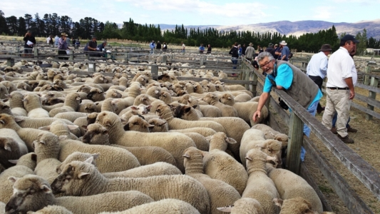 sheep auction, cromwell, otago, guided tour
