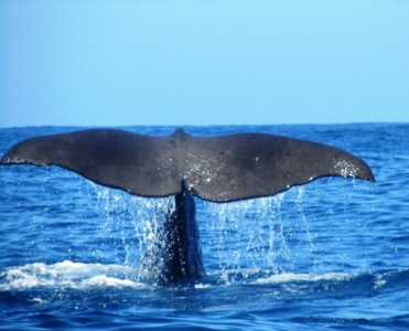 Whale tail of a sperm whale, Kaikoua, South Island