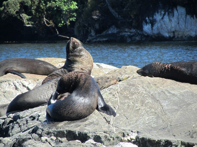 Seals Otago Peninsula, Natures Wonders