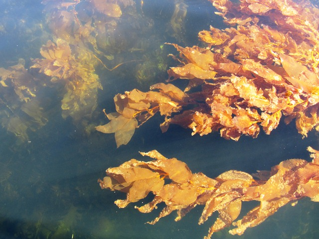 Kelp forest, Milford Sound, Fiordland, South Island