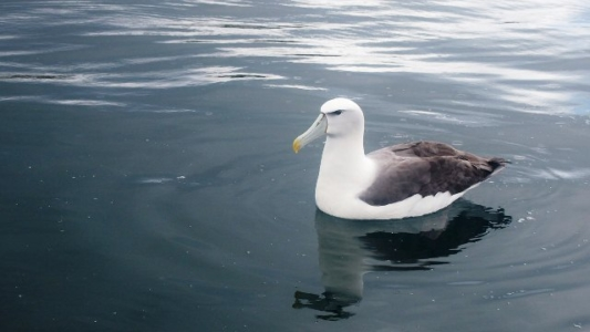 Royal Albatross, Oceanic Discoverer, seabird