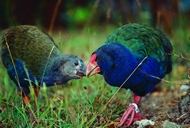Takahe and chick by Rob Suisted