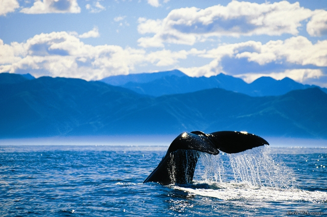 Whale tail, Kaikoura by Chris McLennan
